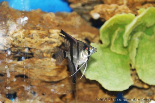 Angelfish / Pterophyllum