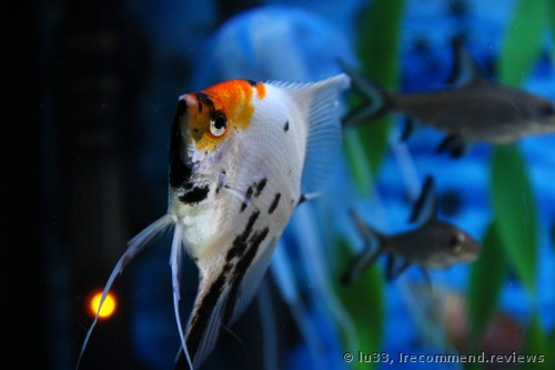 Angelfish / Pterophyllum